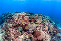Hard and soft corals on a reef tropical coral with clear blue water Stock Images