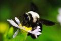 Hardworking Bee Royalty Free Stock Photo