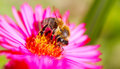 Hardworking bee on a flower Stock Photography
