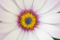 Hardy cape daisy close up white and pink Royalty Free Stock Photography