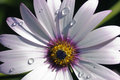 Hardy cape daisy close up white and pink Stock Photography