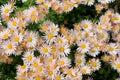 Hardy garden mum flat of in under sunshine Stock Images