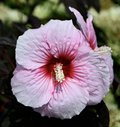 Hardy Hibiscus Pink Spiral Royalty Free Stock Photo