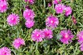 Hardy iceplant or Delosperma cooperi plants with open magenta flowers surrounded with fleshy leaves planted densely in home garden Royalty Free Stock Photo