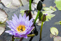 Hardy water lily lotus with green leaf on a Stock Images