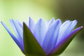 Hardy waterlily in nature pool Stock Images