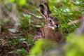 Hare eats plants funny animals Royalty Free Stock Image