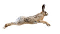 Hare isolated in white background in motion Royalty Free Stock Images