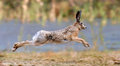 Hare running in a meadow Royalty Free Stock Photo