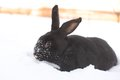 Hare in winter bugs bunny cape cold coldness cottontail Stock Photo