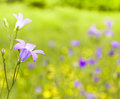 Harebell wildflowers meadow landscape with campanula rotundifolia Stock Images