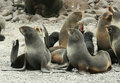 Harem of northern fur seal (Callorhinus ursinus) Stock Photos