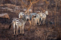 Harem of plains zebra walking through burned forest serengeti tanzania africa Stock Image