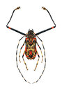 Harlequin Beetle Royalty Free Stock Photo