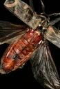 Harlequin beetle flying Royalty Free Stock Photo