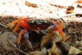 Harlequin crab a on a bed of dead leaves eating a berry for lunch Royalty Free Stock Photo
