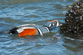 Harlequin duck male eating mussels Stock Images