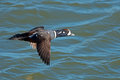 Harlequin duck male in flight Stock Image