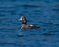 Harlequin duck male swimming in blue saltwater with ripples Royalty Free Stock Photos