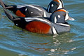Harlequin Ducks Royalty Free Stock Photos