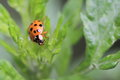 Harlequin ladybird crawling on the green plant Royalty Free Stock Image