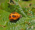Harlequin Ladybird Pupa Stock Photo