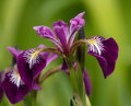 Harlequin larger or northern blue flag iris close up on versicolor Stock Photo
