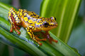 Harlequin poison dart frog Royalty Free Stock Photo