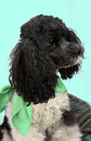 Harlequin poodle five years old cute dressed with green scarf Stock Photo