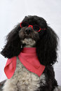 Harlequin poodle five years old cute dressed with scarf and sunglasses ready for vacations Stock Photos