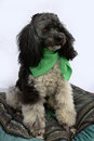 Harlequin poodle five years old cute sitting on a pillow dressed with green scarf Royalty Free Stock Photos
