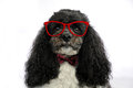 Harlequin poodle with glasses portrait of a five years old bow tie and red looking very intelligent Royalty Free Stock Photography