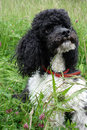 Harlequin poodle little sitting in the meadow Stock Images
