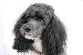 Harlequin poodle portrait of a five years old Stock Photos