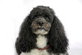 Harlequin poodle portrait of a five years old Royalty Free Stock Images