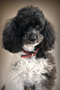 Harlequin poodle portrait of a five years old Royalty Free Stock Photos