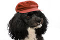 Harlequin poodle on vacation portrait of a five years old with red cap in front of a white background Stock Images