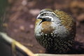 Harlequin quail standing in the soil Stock Image