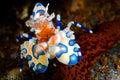 Harlequin shrimp Royalty Free Stock Photo