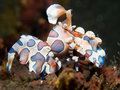 Harlequin shrimp hymenocera picta commonly known as the is a species of saltwater found at coral reefs in the tropical Stock Images