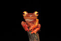 Harlequin tree frog stay on branches Stock Photography