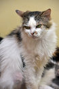 Harmful unhappy cat disgruntled white with brown Royalty Free Stock Photo