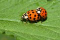 Harmonia axyridis copulation beetle takes place throughout the summer Royalty Free Stock Photo