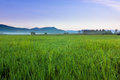 Harmonic view of paddy field with blue sky at Sabah, Borneo Royalty Free Stock Photo