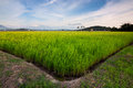 Harmonic view of a paddyfield with blue sky at Sabah, Borneo Royalty Free Stock Photography