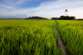 Harmonic view of a paddyfield with blue sky at Sabah, Borneo Stock Image
