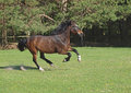 A harness horse moves on a pasture galloping green Stock Photography