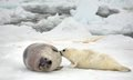 Harp seal cow and newborn pup on ice Royalty Free Stock Photo