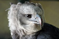 Harpy eagle close up detail portrait of african Royalty Free Stock Image