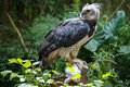 Harpy eagle ready to eat white bunny Stock Images